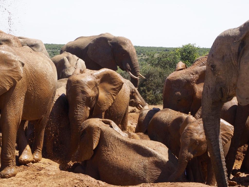 Addo Elephant Parc: olifanten en warthogs!